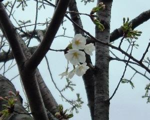 Sakura0903221