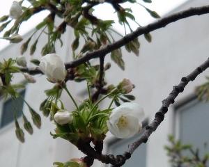 Sakura0903222