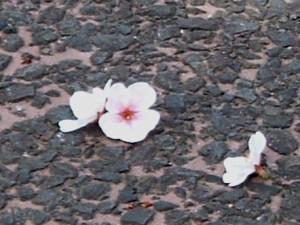 Sakura1104101