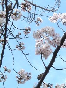 Sakura1104102