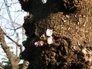 Sakura1703253_2