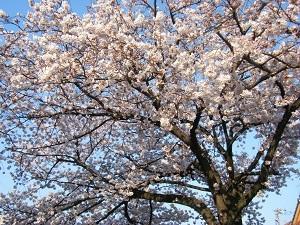 Sakura180401_1