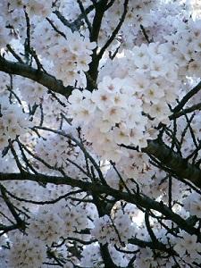 Sakura180401_2