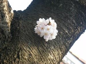 Sakura180401_3