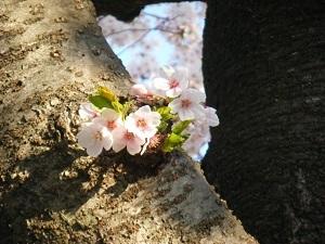 Sakura180401_4