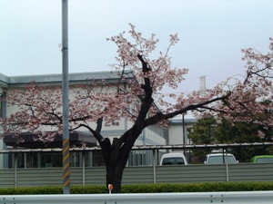 Sakura0604161
