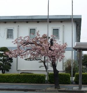 Sakura0604162
