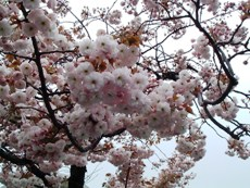 Sakura0604164